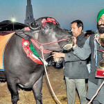 Buffalo fetches Rs 10 cr at agricultural fest